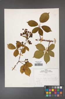 Rubus divaricatus [KOR 50271]