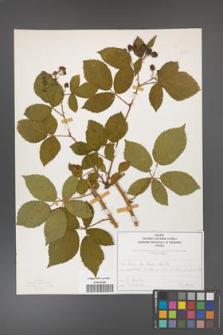 Rubus divaricatus [KOR 50259]