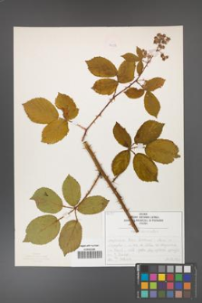 Rubus divaricatus [KOR 50258]