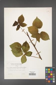 Rubus czarnunensis [KOR 31980]