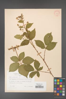Rubus gracilis [KOR 30865]