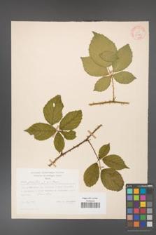 Rubus gracilis [KOR 30889]