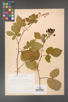 Rubus gracilis [KOR 28021]