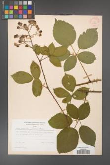 Rubus gracilis [KOR 30859]