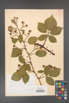 Rubus gracilis [KOR 30876]