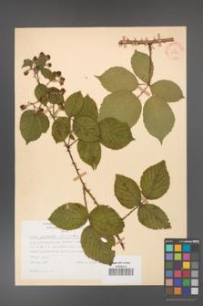 Rubus gracilis [KOR 30861]