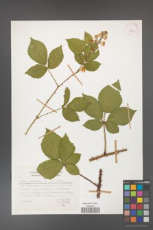 Rubus gracilis [KOR 29961]