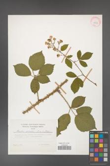Rubus gracilis [KOR 29958]