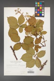 Rubus gracilis [KOR 25674]