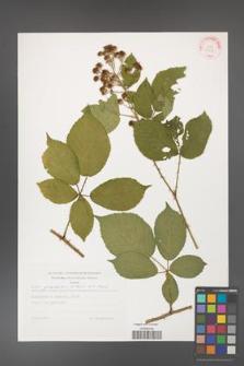 Rubus gracilis [KOR 29258]