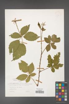 Rubus gracilis [KOR 24960]