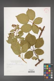 Rubus gracilis [KOR 29219]