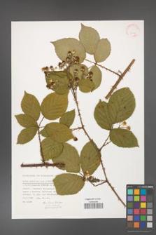 Rubus gracilis [KOR 31530]