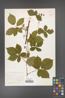 Rubus gracilis [KOR 40495]