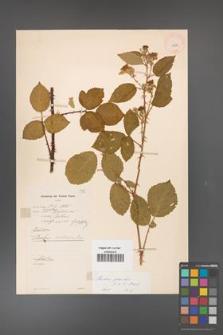 Rubus gracilis [KOR 11070]