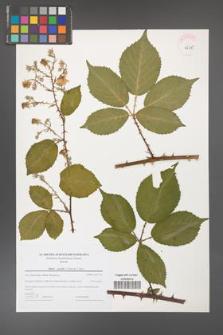 Rubus gracilis [KOR 44719]