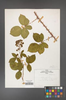 Rubus gracilis [KOR 50447]