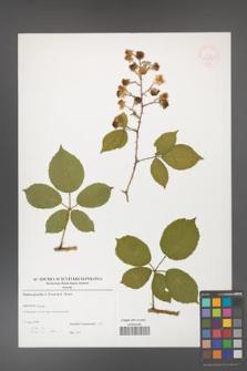 Rubus gracilis [KOR 52898]