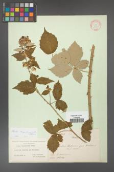 Rubus crispomarginatus [KOR 10660]
