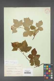 Rubus crispomarginatus [KOR 10659]