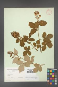 Rubus crispomarginatus [KOR 10658]