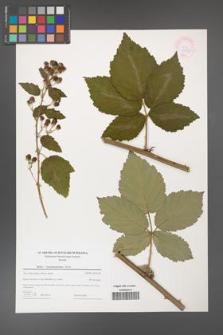 Rubus crispomarginatus [KOR 44612]
