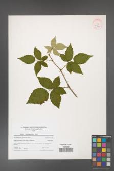 Rubus crispomarginatus [KOR 40766]