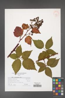 Rubus crispomarginatus [KOR 40752]