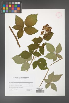 Rubus crispomarginatus [KOR 41746]