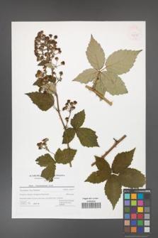 Rubus crispomarginatus [KOR 42755]