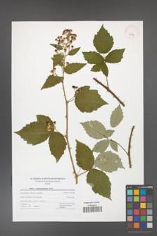 Rubus crispomarginatus [KOR 42774]