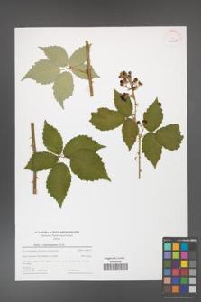 Rubus crispomarginatus [KOR 44019]