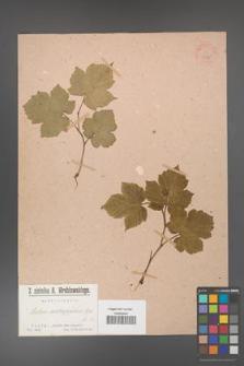 Rubus crataegifolius [KOR 36375]