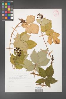 Rubus crispomarginatus [KOR 29200]