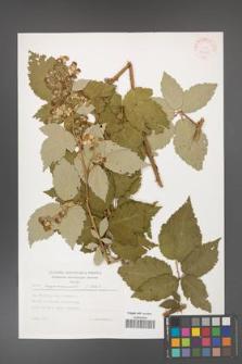 Rubus crispomarginatus [KOR 30559]
