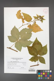 Rubus crispomarginatus [KOR 42118]
