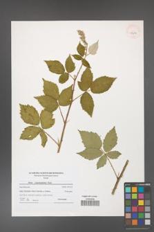 Rubus crispomarginatus [KOR 41204]