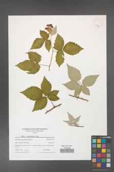 Rubus crispomarginatus [KOR 41044]