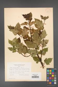 Rubus crataegifolius [KOR 18437]