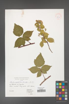Rubus corylifolius [KOR 39981]