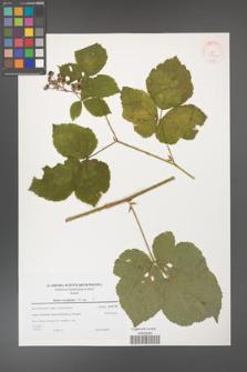 Rubus corylifolius [KOR 38945]