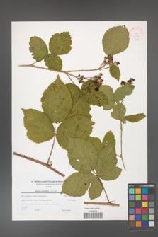 Rubus corylifolius [KOR 38940]