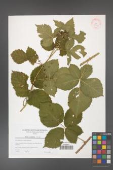 Rubus corylifolius [KOR 38933]