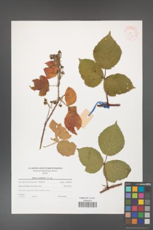 Rubus corylifolius [KOR 38776]