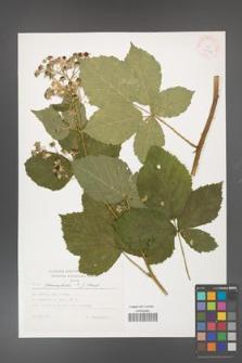Rubus fasciculatus [KOR 37970]