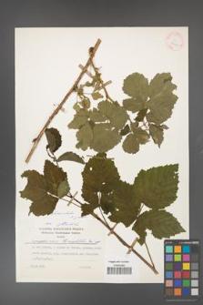 Rubus fasciculatus [KOR 25421]