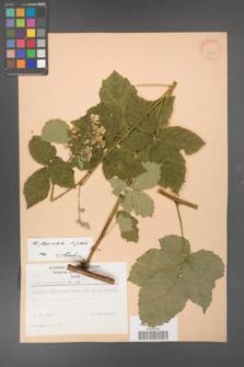 Rubus fasciculatus [KOR 22958]