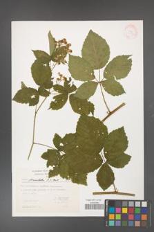 Rubus fasciculatus [KOR 32127]