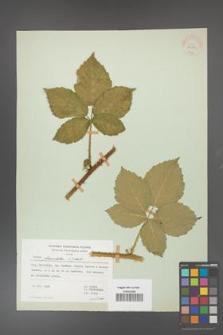 Rubus fasciculatus [KOR 30981]