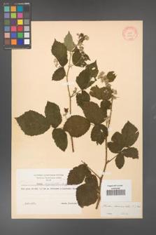 Rubus fasciculatus [KOR 10610]